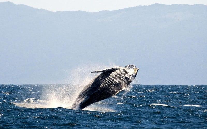 Walvissen als bondgenoten
